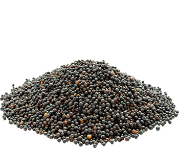Dried Rapeseed-Canola-Alvan-Blanch-Rapessed-Canola-Dryer